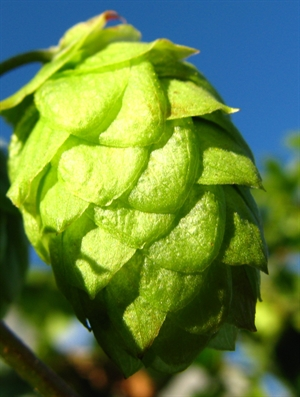 HUMLE, WYE NORTHDOWN, HUMULUS LUPULUS, POTTE, 2 ÅR